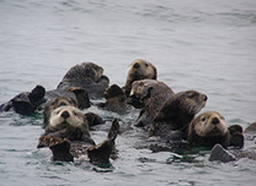 A raft of curious sea otters look at the camera