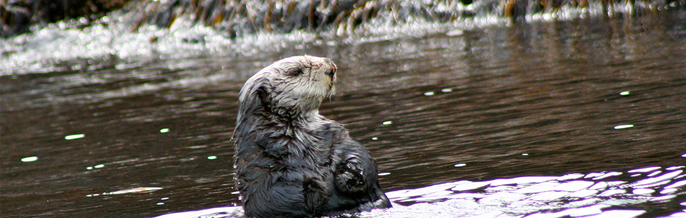 Curious Northern Sea Otter in the water