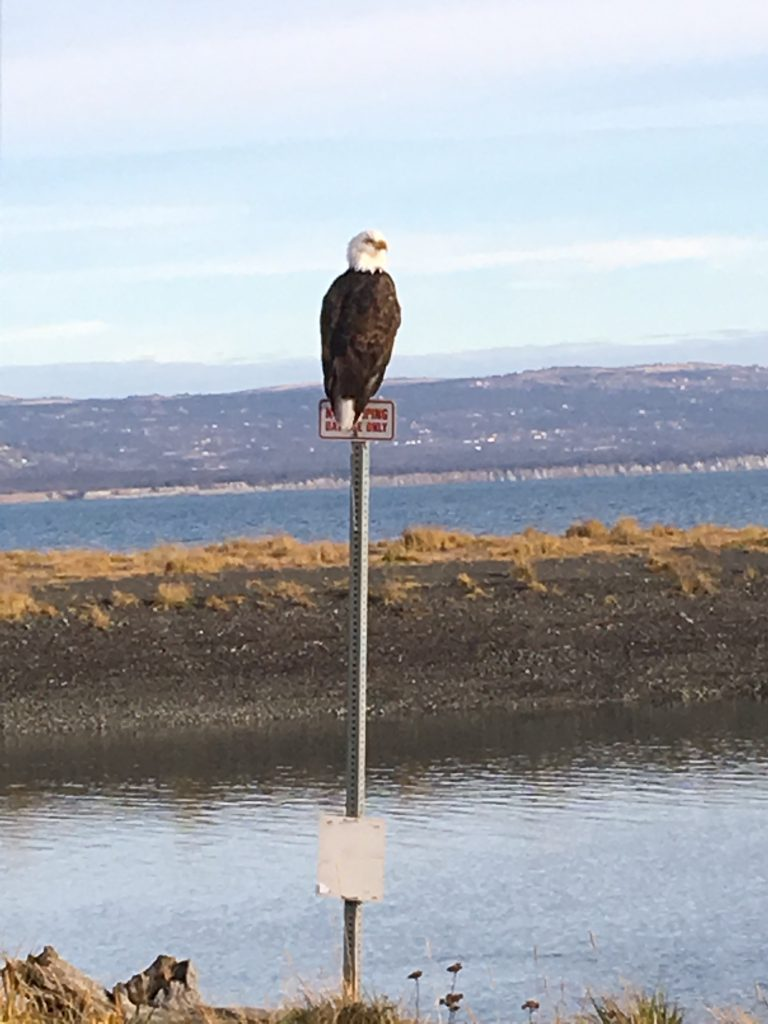 Bald Eagle in the Homer Harbor