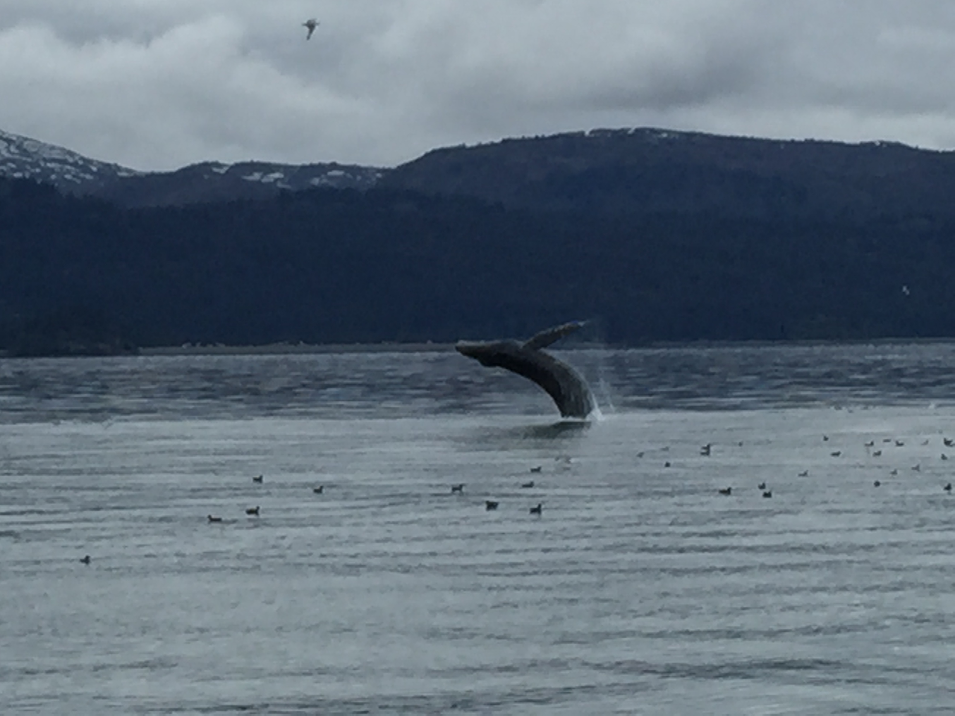 Humpback whale breaching majestically on a cloudy day