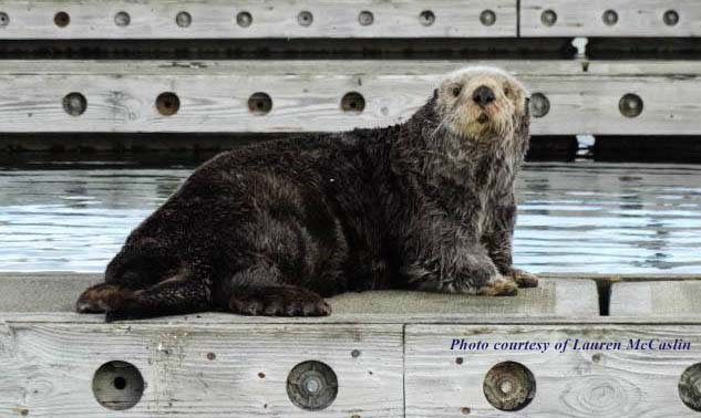 Cute sea otter pulled out on boat dock
