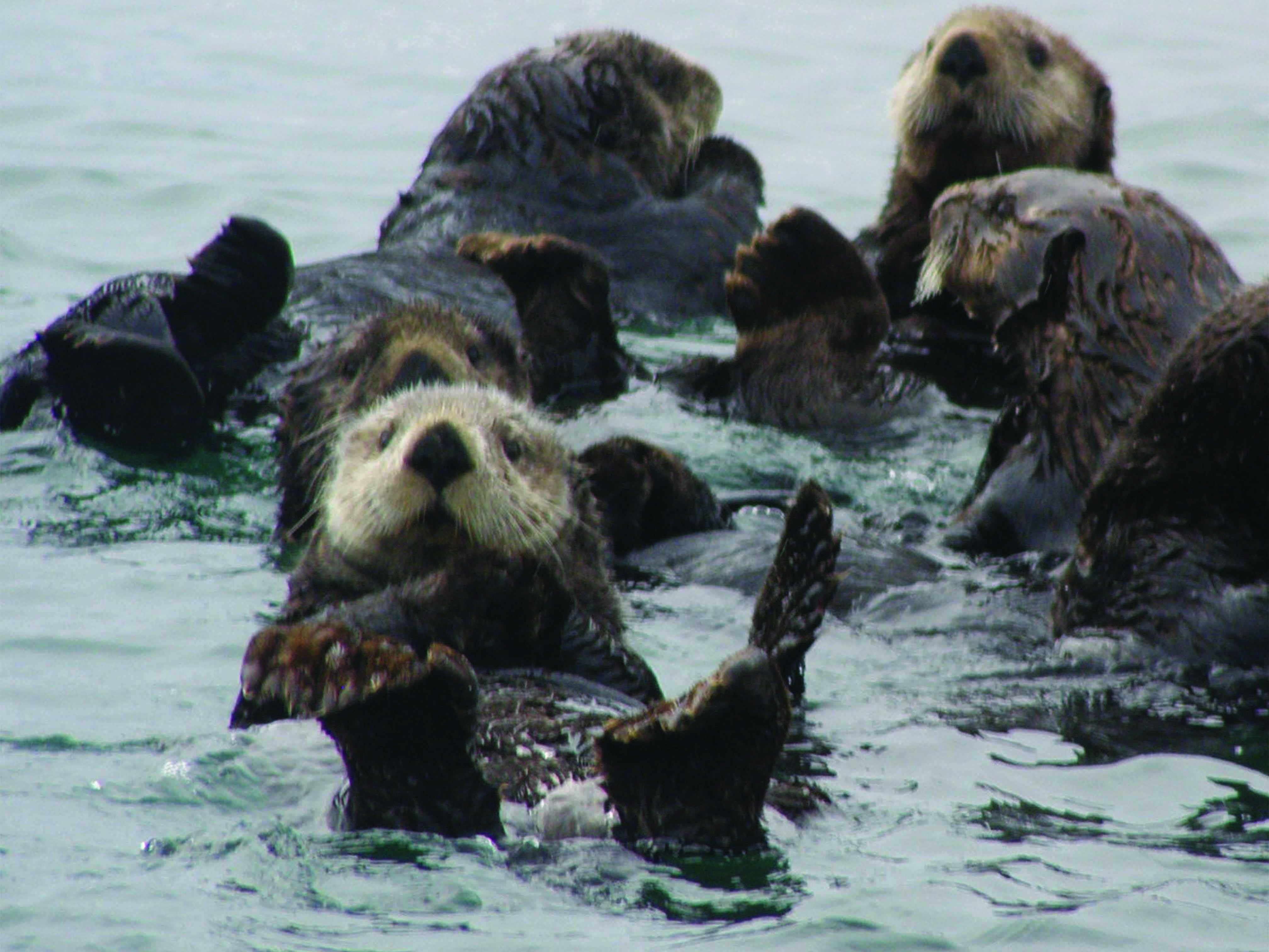 A northern sea otter floats peacefully in mirror calm water